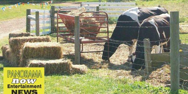 buckley cows