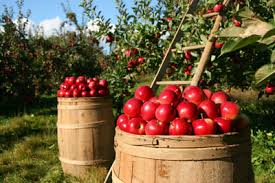 apple picking in orchards northwest indiana