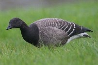 brant goose spotted by birders in Hammond Indiana