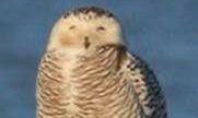 snowy owl e1484773353511