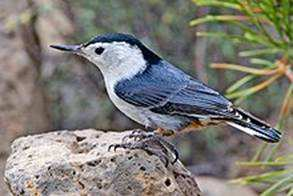White breasted nuthatch for bird watching hammond indiana