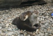 two new River otters are born at washington park zoo michigan city indiana parents