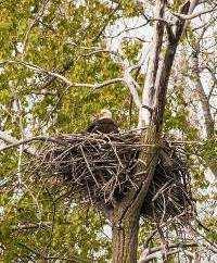 bald eagle in northwest indiana calumet region birding adult nest