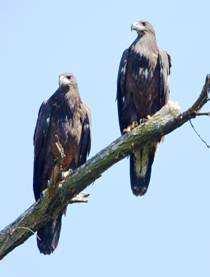 bald eagle in northwest indiana calumet region birding juvenile