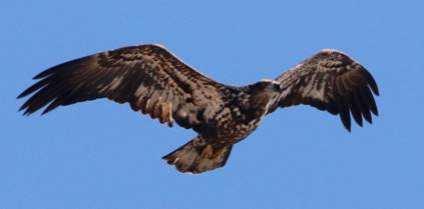 bald eagle in northwest indiana calumet region birding