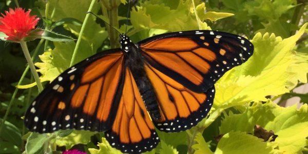 butterfly walk at taltree arboretum valparaiso indiana e1495563847742
