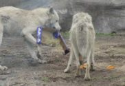 porter county reuse fair and earth day supports local wolves and animals e1515507928358