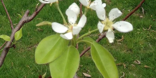 spring pear tree blossoms