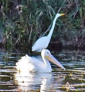 white pelican with great egret birds wolf lake hammond indiana