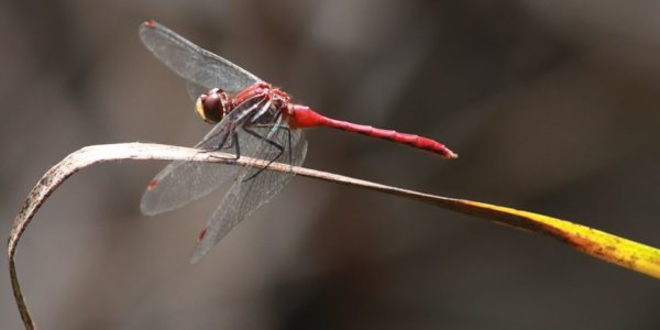 dragonfly hunt parks and recreation northwest indianajpg