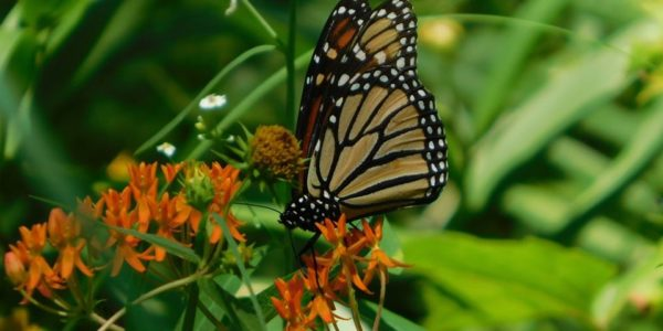 monarch butterflies parks and recreation nwindiana