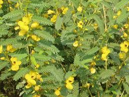 partridge pea medicinal yellow flowers edible