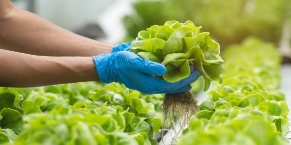 How To Grow a Hydroponic Vegetable Garden